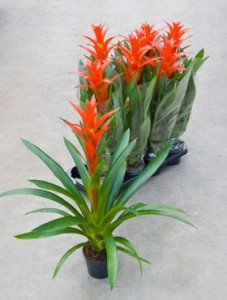 guzmania flori plante de apartament