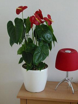 planta-naturala-anthurium-in-ghiveci