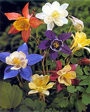flori-gradina-aquilegia-mckana