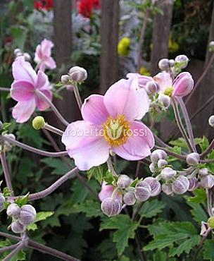 anemone-flori-de-gradina