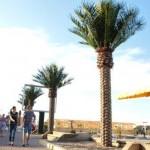 palmieri artificiali plaja Constanta