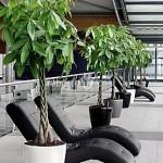 arbusti-ornamentali-pachira