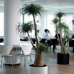 planta-naturala-nolina-in-ghiveci-sintetic