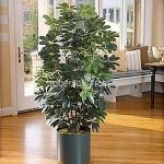 planta-naturala-scheflera-in-ghiveci-metalic-rotund