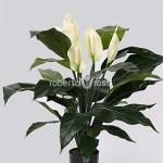 spathiphyllum-75-cm-spathiphyllum-inflorit-31219-1