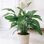 spathiphyllum-gokyo-65-cm-905-7