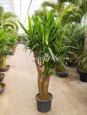 yucca-arbust-decorativ