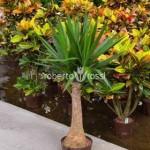 yucca-arbust-ornamental