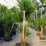 yucca-elephantipes-250-cm-76504-1