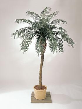 phoenix-de-luxe-250-cm-phoenix-palm-de-luxe-8-15023-1