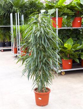 plante de ghiveci ficus