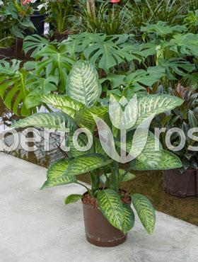 dieffenbachia-maroba-90-cm-bastonul-prost-88820-1