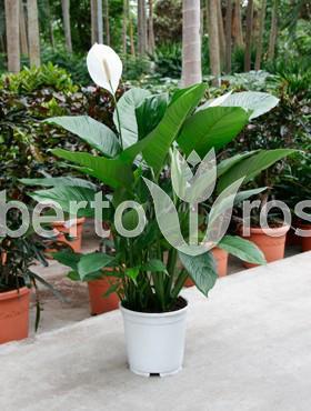 spathiphyllum-alfetta-90-cm-crinul-pacii-89167-1