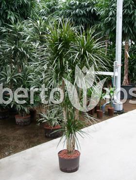 dracaena-marginata-170-cm-arborele-dragon-dracaena-rosii-taisuri-85985-1