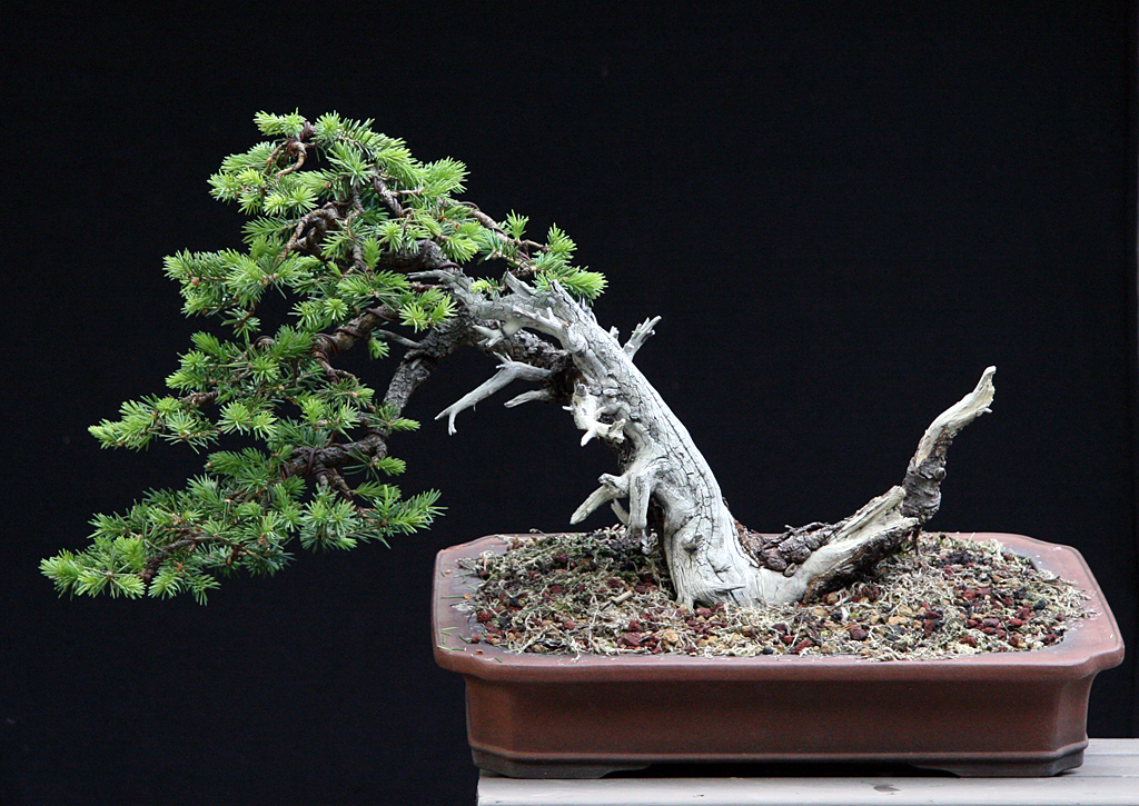 Bonsai contorsionat