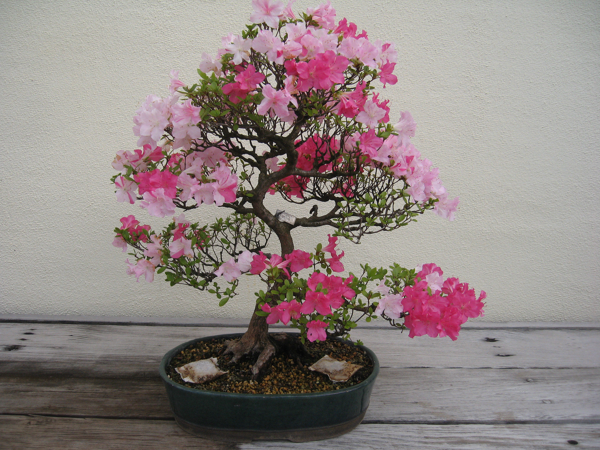 Bonsai inflorit