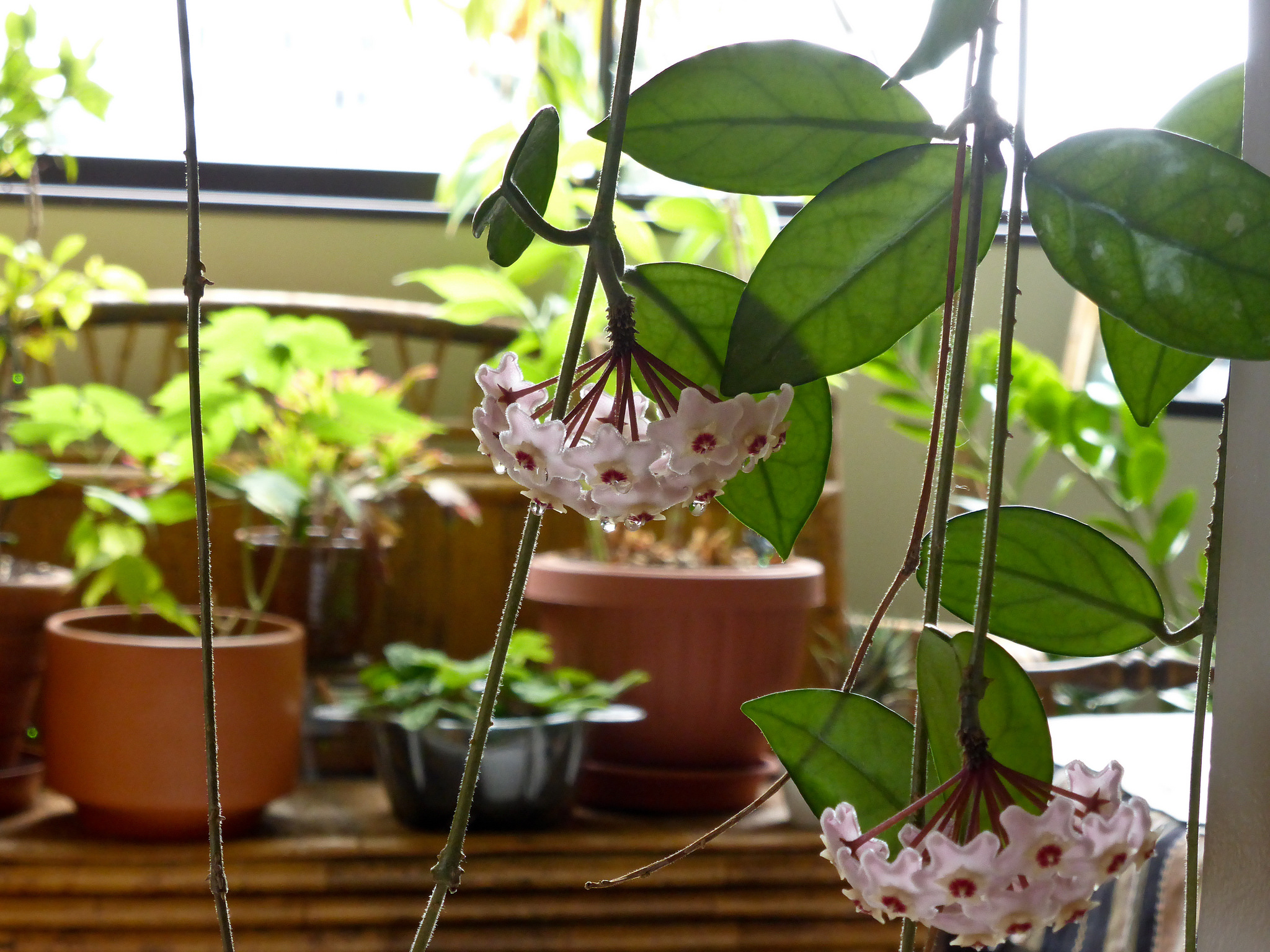 Hoya impreuna cu alte flori