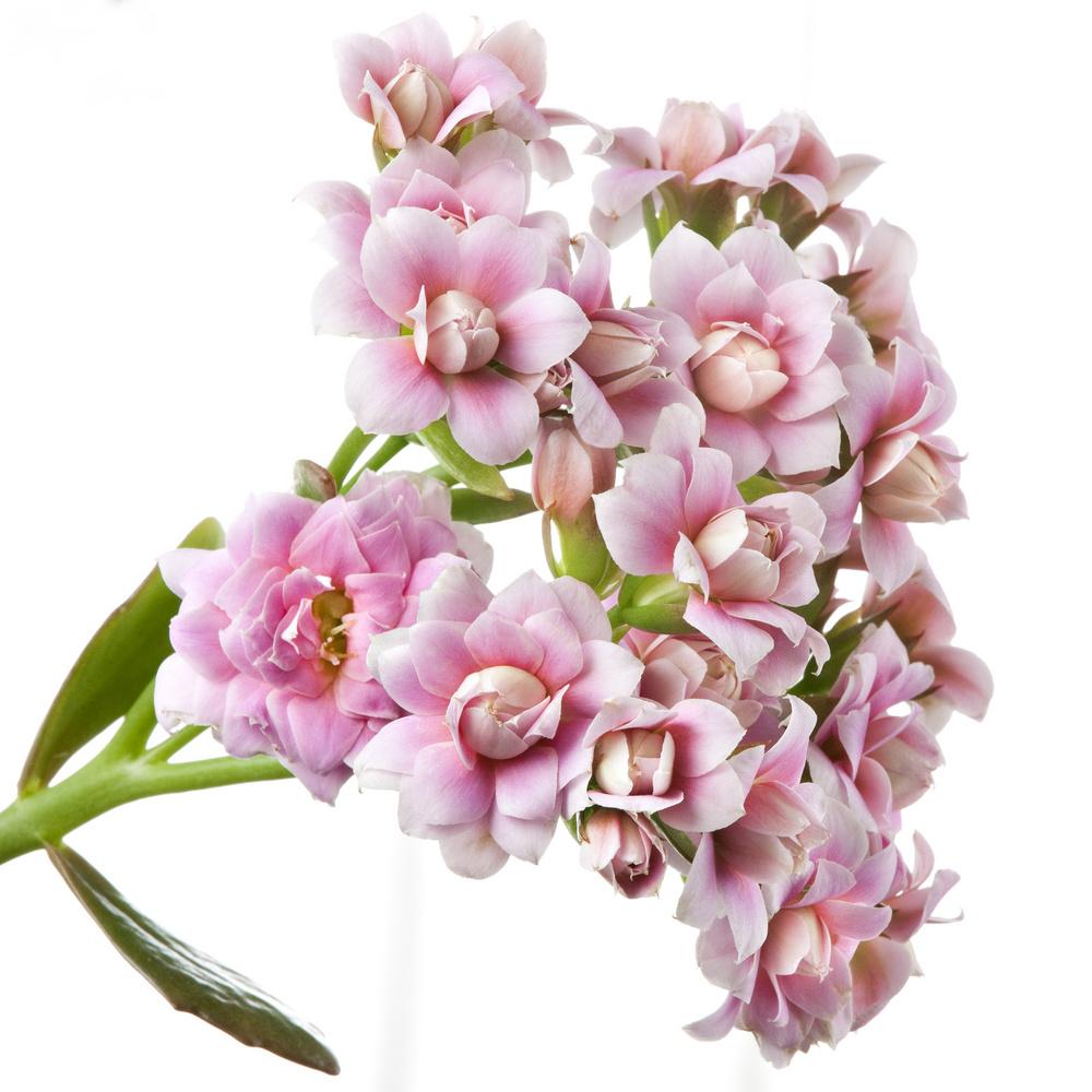 Tulpina florala de Kalanchoe