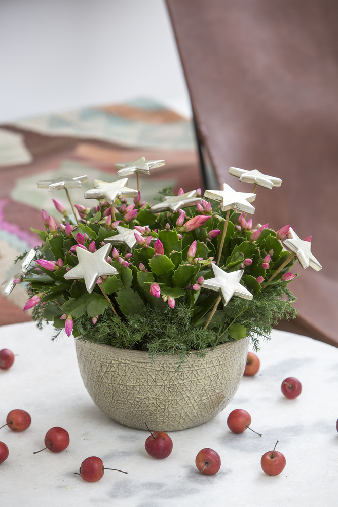 Schlumbergera cu stelute decorative