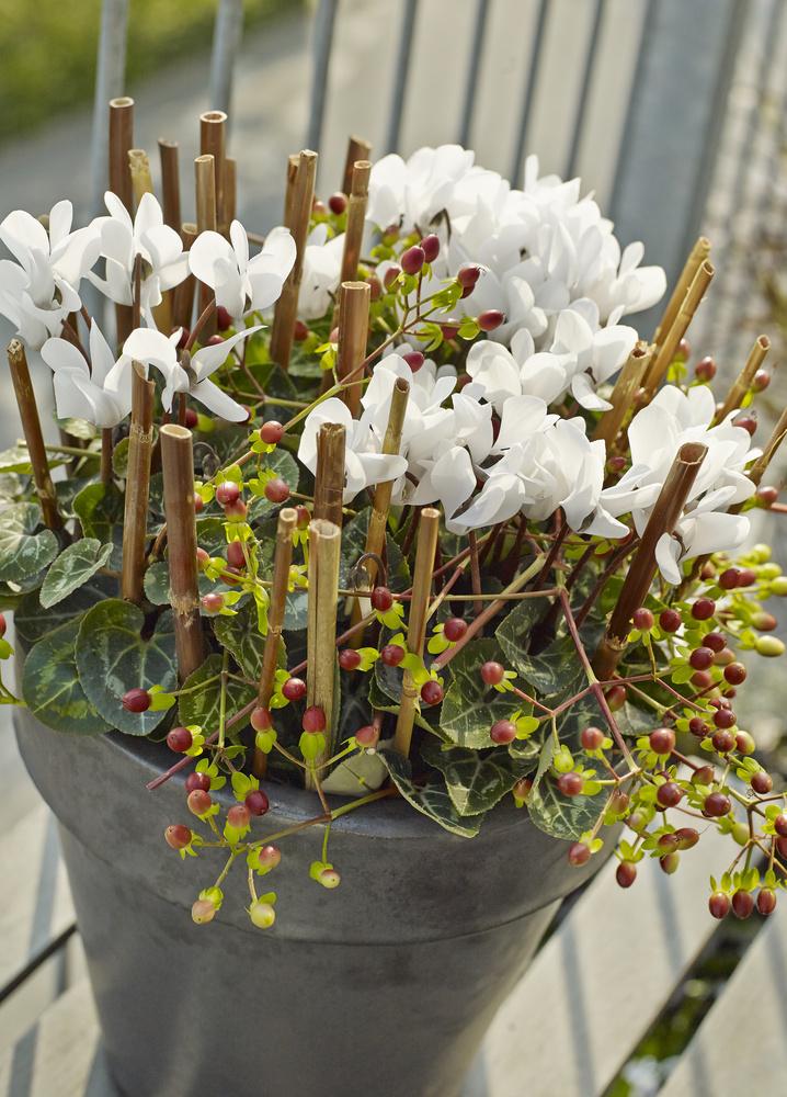 Aranjament cu Cyclamen, bete de bambus si crengute cu fructe decorative