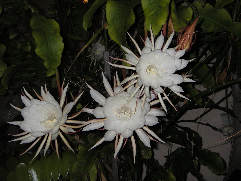 Cactus tropical Queen of the Night