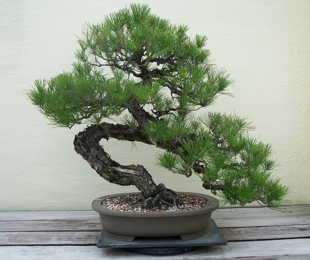 Bonsai cascada obtinut din conifer