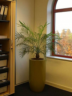 planta-palmier-naturala-in-ghiveci