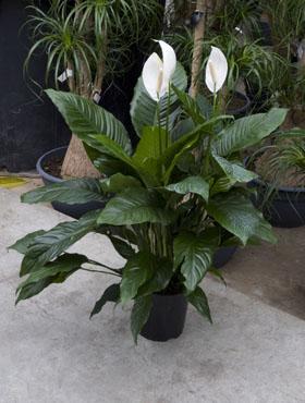 spathiphyllum-alfa-80-cm-16960-1