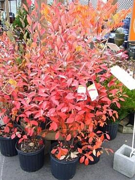 arbust-aronia-scorus