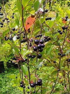fructe-aronia-scorus