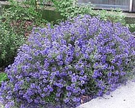plante-gradina-barba-albastra