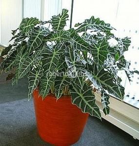 ghiveci-krappa-bamboo