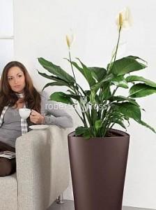 flori-apartament-anthurium-in-ghiveci