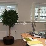 arbusti-ornamentali-pachira-ghiveci-metalic