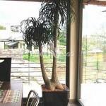 planta-naturala-nolina-in-ghiveci-lechuza