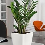 planta-naturala-zamioculcas-in-ghiveci-lechuza