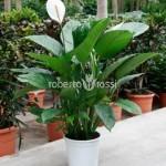 spathiphyllum-alfetta-80-cm-77311-1