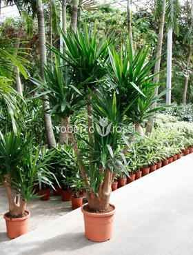 yucca-arbust-de-ghiveci