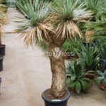 yucca-rostrata-165-cm-76346-1