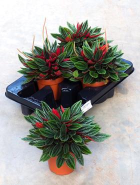 peperomia-plante-de-ghiveci