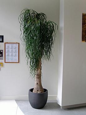 ghivece ceramice pentru arbusti ornamentali