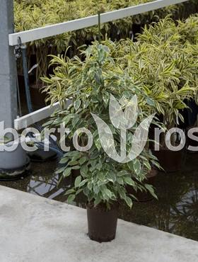 ficus-golden-king-110-cm-laurel-indian-dafin-indian-regele-de-aur-86836-1