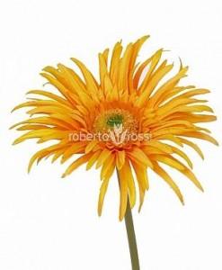 Gerbera Paianjen 20 cm portocaliu
