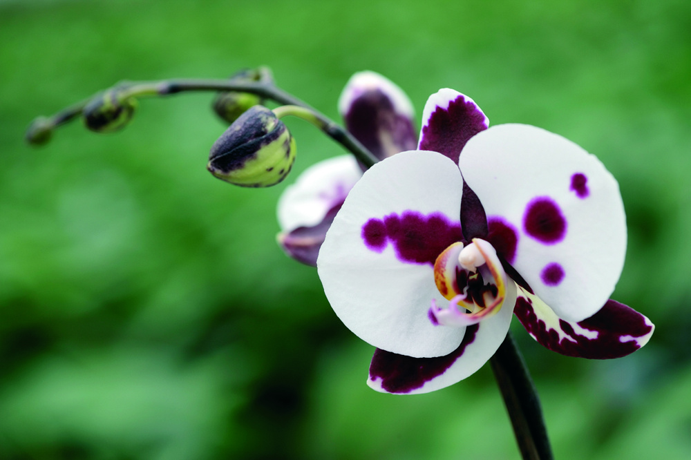 Phalaenopsis uimitor