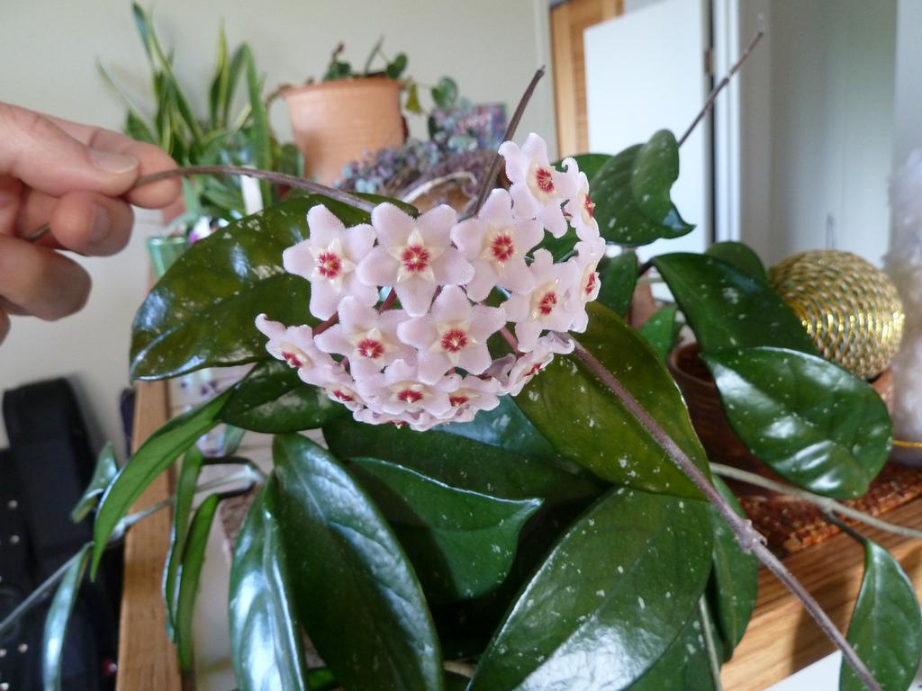 Hoya carnosa in casa