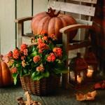 Kalanchoe spectaculoasă în aranjamente festive de toamnă