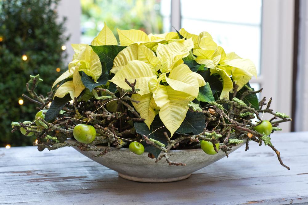 Platou cu Poinsettia, crengute si fructe