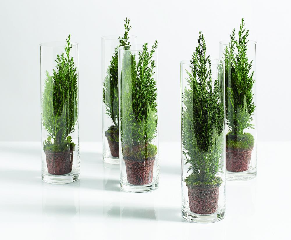 Chamaecyparis in boluri de sticla