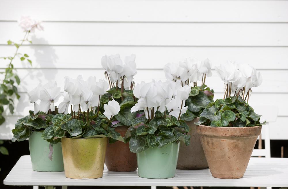 Cyclamen cu flori albe de zapda