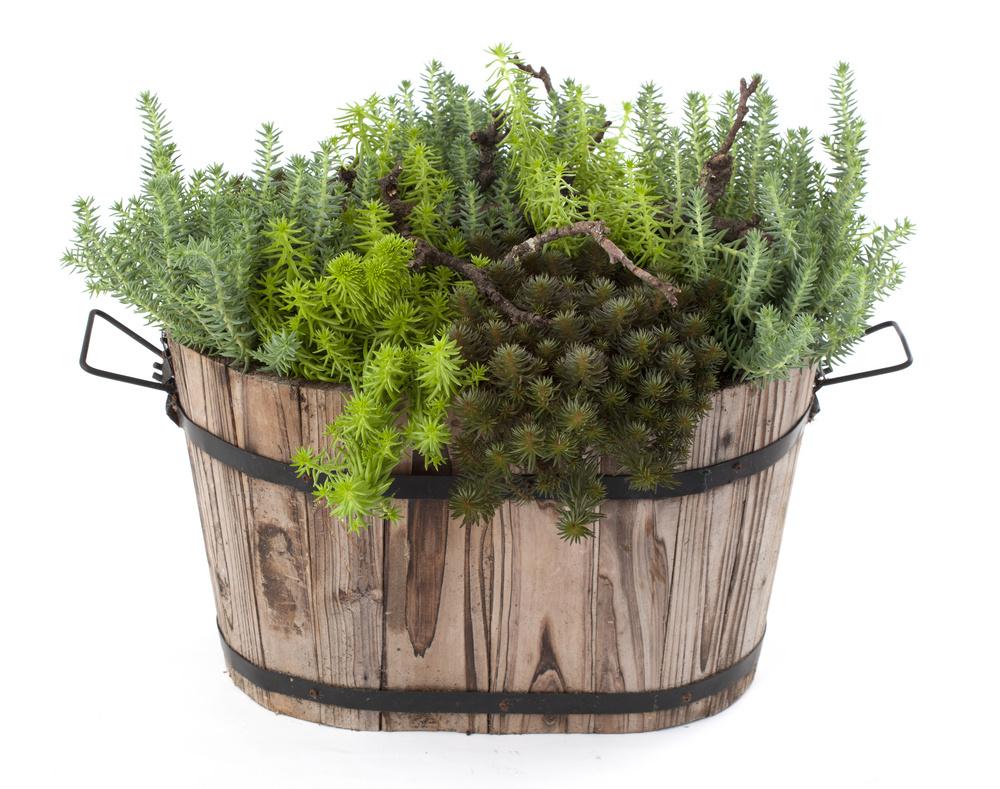 Soiuri de Sedum cu aspect de conifere